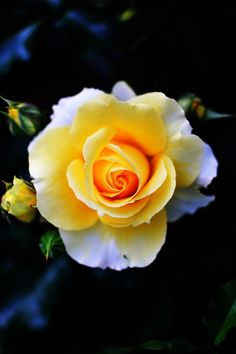 Yellow rose •