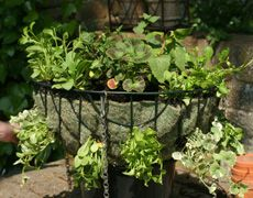 Planted hanging basket ~~How many plants do I need in a hanging basket?~~ See site for spacing requirements and other useful information:)