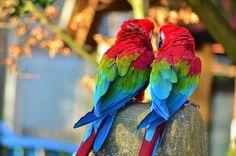 animals, birds, color, colorful, colors, cute, love, nature, parrots, photography, true love