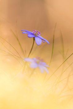 Anemone hepatica by Anton Simon - Photo 5885964 - 500px