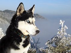 Beautiful Eyes - siberian-huskey10