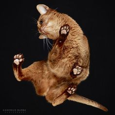 """""""Fiquei fascinado por suas Patinhas bonitinha que eram impossíveis de resistir olhar"""", disse criador de gatos"""