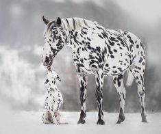 Colorful Appaloosa Horse – One Of The Most Popular Horse Breeds In The US – Horse Spirit Horses And Dogs, Cute Horses, Pretty Horses, Horse Love, Beautiful Horses, Animals Beautiful, Animals And Pets, Funny Animals, Cute Animals