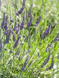 Which lavender is best?  Varieties described in this BHG article. 'Grosso' Lavandin