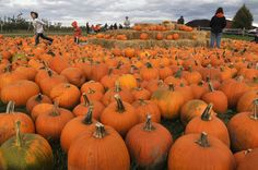 Want to go pumpkin picking? Check out this list of fun pumpkin patches in Upstate New York