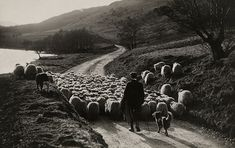 A Man Herds Sheep With The Help Of His Collies In Scotland, 1919