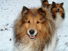 #Sheltie Snow Angels, Legacy and Sister Penny.