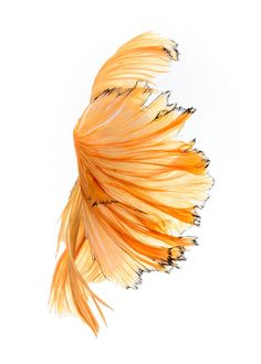 My wallpaper - Capture the moving moment of yellow siamese fighting fish isolated on black background. Betta fish