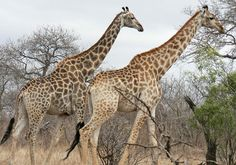 Giraffes under Threat: Populations Down 40 Percent in Just 15 Years  One of the world's most iconic and beloved animals is quickly disappearing. Fifteen years ago about 140,000 giraffes (Giraffa camelopardalis) roamed the plains and forests of ...