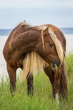 Blondie by Jeff Goldberg | Flickr || flaxen liver chestnut  dark palomino feral Canadian Sable Island Pony grazing