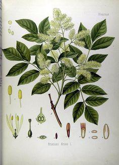 scheda della pianta del Frassino da cui si ricava la manna