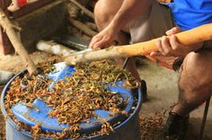Villa Vanilla Spice Farm: harvesting cinnamon. Tours available.  - Costa Rica