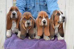 The most gorgeous Basset puppies ever!!