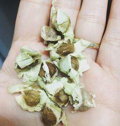 Sementes de moringa oleifera.    #saberesdojardim #moringa #moringaoleifera #varanda  #acaciabranca #arvoredavida #arvoremilagrosa #meujardim