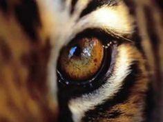 Flipagram created on featuring Eye of the Tiger by Survivor. Tiger Wallpaper, Eyes Wallpaper, Photo Wallpaper, Pet Tiger, Bengal Tiger, Tiger Eyes, Cat Eyes, Siberian Tiger, Fierce Animals