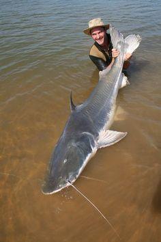 Piraiba catfish taken by Franck in the Amoazon
