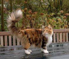 Gyrid, Norwegian Forest Cat, Bifrost