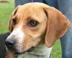 Archie is an adoptable Hound Dog in Chipley, FL. Archie is a 2 to 3 year old male hound cross, about 35 pounds.He is very outgoing and cheerful, alert and cooperative.Archie would love to come home w...