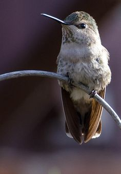 Archway Hummingbird Photographed by Michael P. Moriarty