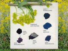 pigments-Natural dyes have been around for thousands of years and are still used to this day. Indigofera Tinctoria blue is one of the oldest natural dyes and has been a major primary color for several cultures throughout the world.
