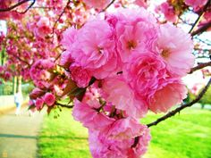Kwanzan Flowering Cherry Tree - The prettiest of all spring bloomers, this ornamental cherry tree is guaranteed to please anyone fortunate enough to enjoy this harbinger of spring.