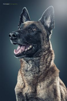 Portrait of a malinois - This is on of my earliest dog-portraits, but it is still one of my favorites! What a awesome dog! Malinois Belga, Belgian Malinois Dog, Belgian Shepherd, German Shepherd Dogs, German Shepherds, Dog Photos, Dog Pictures, Belgium Malinois, Dog Training