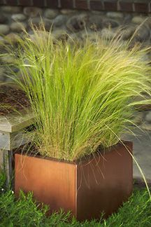 Mexican Feather Grass - Ornamental Grass