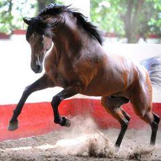 """ An Andalusian! Andalusian Horse, Friesian Horse, Arabian Horses, Horse Photos, Horse Pictures, All The Pretty Horses, Beautiful Horses, Majestic Horse, Black Horses"