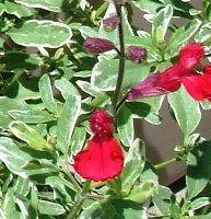 Salvia greggii 'Desert Blaze'