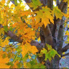 Fall - tree in my yard