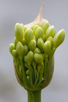 agapanthus~I'm going to burst blue Exotic Plants, Exotic Flowers, Green Flowers, Tropical Flowers, Amazing Flowers, Beautiful Flowers, Flower Of Life, Flower Art, Botanical Flowers