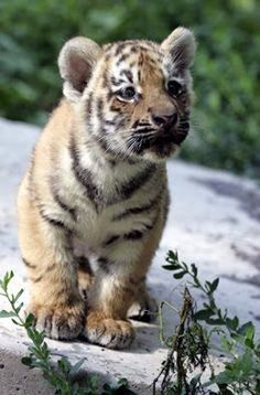 baby Tige | cute bab Amazing World beautiful amazing