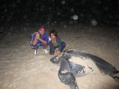 watch the leather back turtles lay eggs, Matura Beach, Trinidad