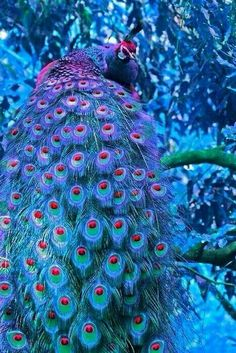 Peacock Images, Peacock Pictures, Peacock Art, Peacock Colors, Peacock Feathers, Pink Peacock, Peacock Pics, Male Peacock, Pretty Birds