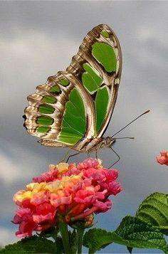 ~Lantana & Butterfly~