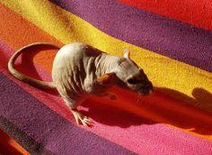 Kevin's glorious wrinkles #aww #cute #rat #cuterats #ratsofpinterest #cuddle #fluffy #animals #pets #bestfriend #ittssofluffy #boopthesnoot
