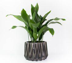cast iron plant nz - Google Search