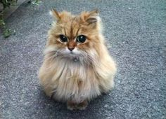 フクロウ猫 - Cute