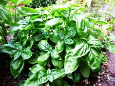 Growing Basil For It's Health Benefits – Herb and Spice Guru. Basil is easy to grow either in the ground or in a container, it's a great herb for the summer as it grows quickly in warm weather to yield big harvests. For an assortment of flavors, you can grow various types of basil together in flower beds or containers. Popular varieties include cinnamon basil and Thai basil for Asian dishes.This video is brought to you by bonnieplants.com.