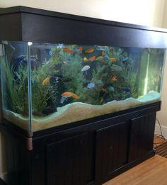 Louisville Client: African Cichlid Aquarium