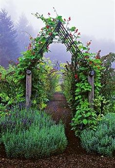 Scarlet Emperor beans climb up the wood and metal entry arbor. Clumps of lavender grow at its feet.
