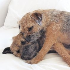 Doggies, Pet Dogs, Dogs And Puppies, Border Terrier Puppy, Crazy Dog Lady, Vestibule, Best Dog Breeds, Brown Dog, Dog Boarding
