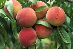 Elberta Peach Tree - FRESH SHIPMENT!!  THE most asked for peach tree at Pine Ridge is now HERE!  This sweet, yellow, cling free peach has the smallest pit and the thickest flesh of all peaches