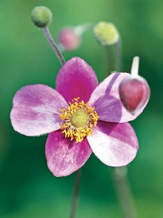 A great cut flower, Japanese anemone produces large poppy-shaped pink or white flowers on tall stems at the end of the season! http://www.bhg.com/gardening/flowers/perennials/fall-garden-plants/?socsrc=bhgpin112914japaneseanemone&page=11
