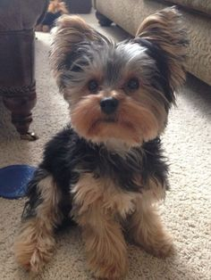 So fluffy!!!! This yorkie is like a real life teddy bear!