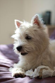 Westie Romy Westie puppy 5 mois Westie chiot