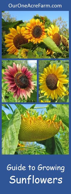 Guide to Growing S… Covers planting and thinning sunflower seeds; common problems, pests and diseases; how sunflowers are pollinated; how to choose varieties; and how to harvest sunflower seeds. Thorough, organized for easy reading, and gorgeous photos. Planting Flowers, Plants, Garden, Sunflower Garden, Sunflower, Harvesting Sunflower Seeds, Growing Sunflowers, Growing Flowers, Gardening Tips