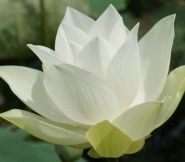 The lotus flower starts off in darkness and mud but grows towards the light.  It takes courage to do this.  It takes time and persistence.  No one is without a past and everyone can have a bright future.***