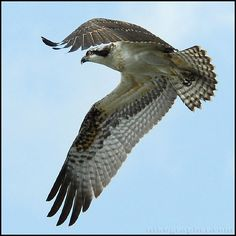 There are 6 main groups of birds that take prey during the day: ospreys, kites, hawks, eagles, harriers and falcons.  This post deals with the first three of that list. I've tried to find pho…