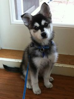 Mini Alaskan Klee Kai. I need a dog like this someday! They're minister huskies!